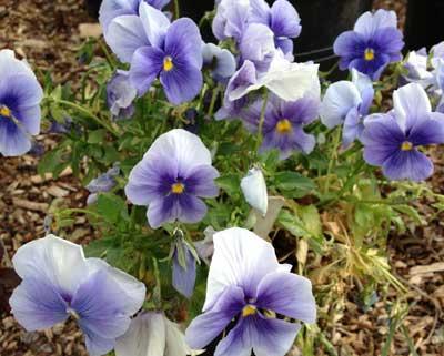 Pansies, flowers, Keswick