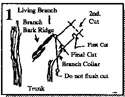 Pruning a living branch