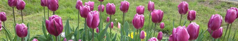 tulips display