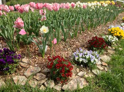 Tulips in Keswick, Virginia
